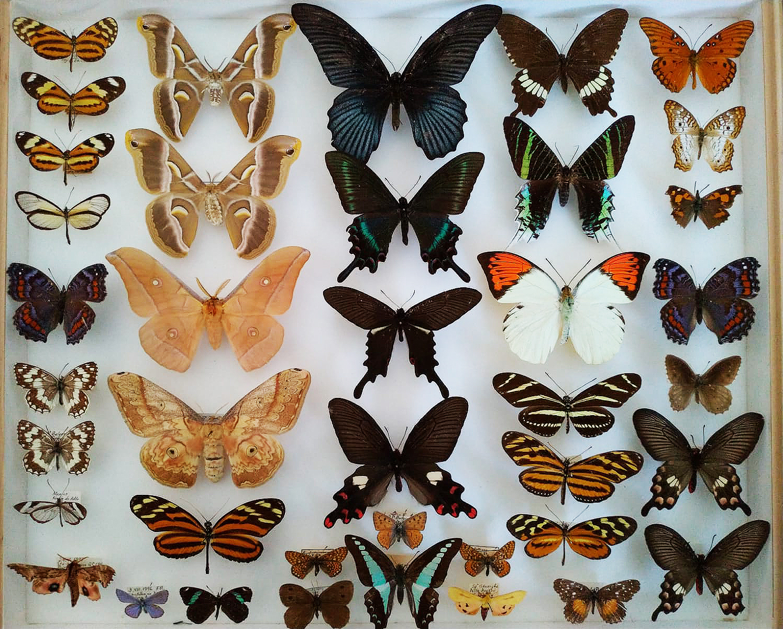 Colecție nouă de fluturi la Universitatea Babeș-Bolyai din Cluj-Napoca